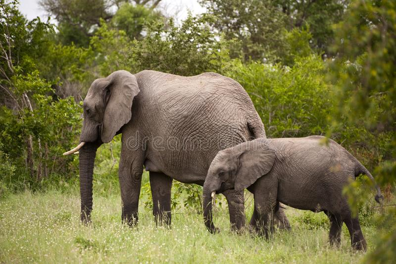 Elephant with baby elephant royalty free stock images