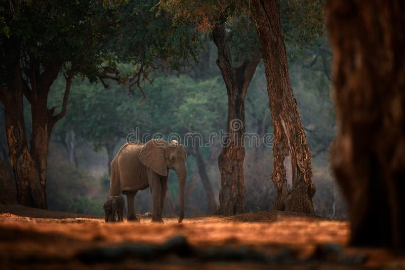 Elephant baby. Elephant at Mana Pools NP, Zimbabwe in Africa. Big animal in the old forest, evening light, sun set. Magic wildlife. Scene in nature. African stock photography