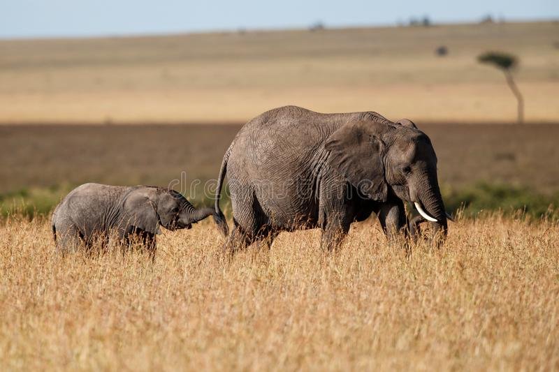 Elephant baby and mother in the Masai Mara. Elephant baby and mother on the plains of the Masai Mara Game Reserve in Kenya stock images