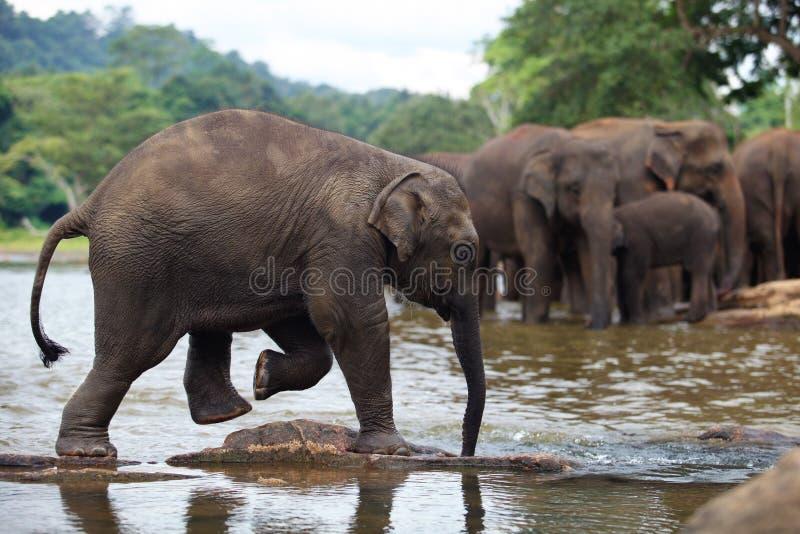 Elephant baby in water. Pinnawala, Sri Lanka stock images