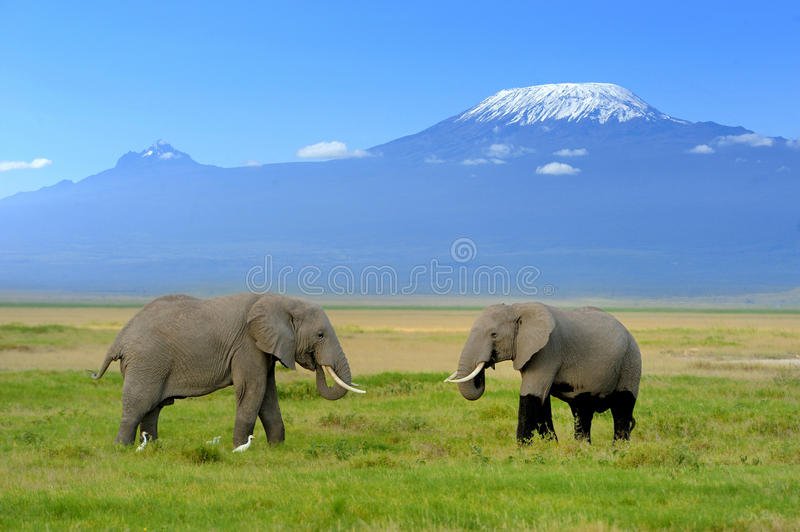 Elephant. On the background of Mount Kilimanjaro in the national reserve royalty free stock photo