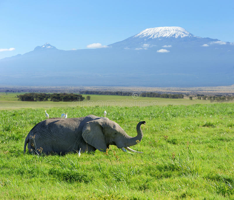 Elephant. On the background of Mount Kilimanjaro in the national reserve royalty free stock photos