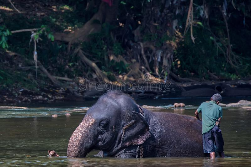 Elephant bathing in river by mahout. Young elephant walks in the river in national park Pinnawala Elephant Orphanage, Sri Lanka royalty free stock photos