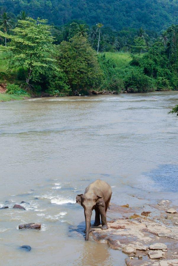 Elephant bathing in river in Sri lanka stock photo