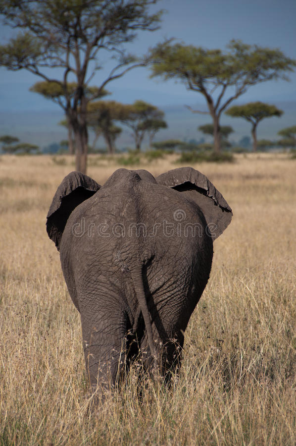 Elephant From Behind. An African Bush Elephant in the grass in Kenya's Masai Mara, as seen from behind stock images