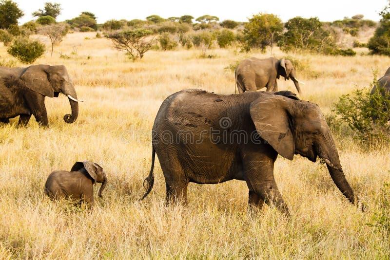 Elephant. An big elephant at the Kruger Park royalty free stock photos