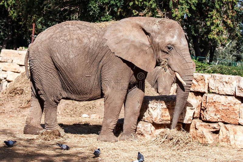 Download Elephant stock photo. Image of animal, nose, israel, climb - 33299092