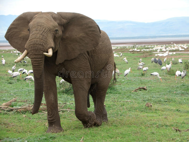 Download Elephant And Birds In Africa Royalty Free Stock Photography - Image: 25991277