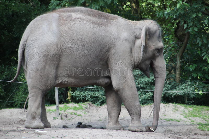 Elephant in the Rotterdam Zoo. Elephant in the Blijdorp Rotterdam Zoo stock photography
