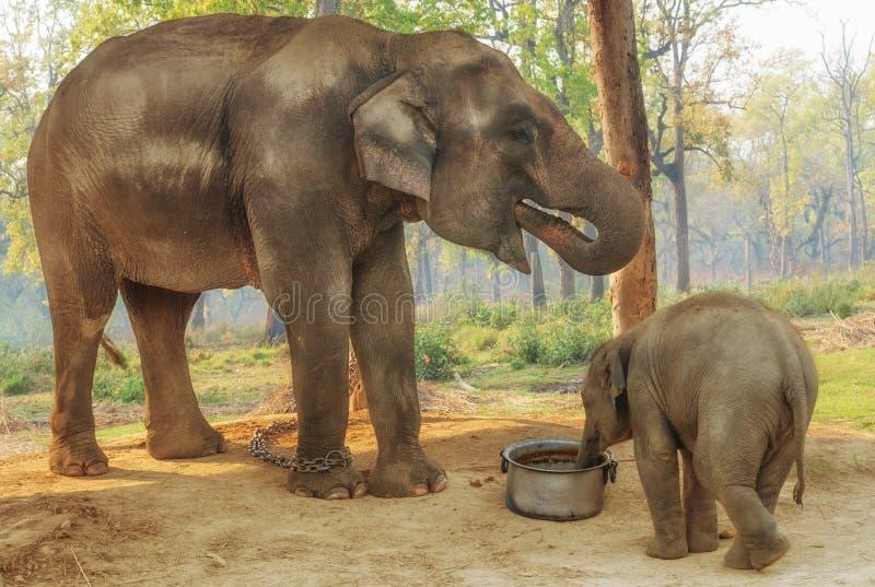 Elephant Breeding Centre in Chitwan, Nepal stock photography