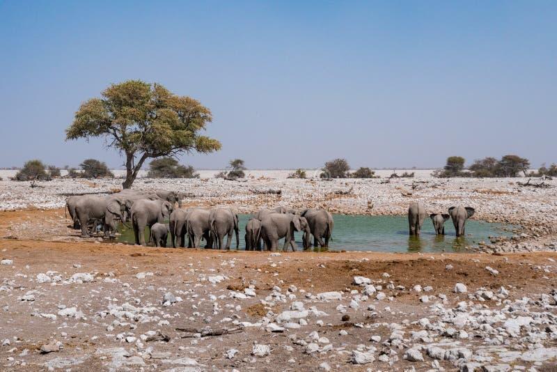 Elephant Herd at Waterhole, Etosha NP. Elephant Breeding Heard at Waterhole in Etosha National Park, Namibia, Africa stock images