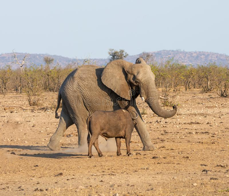 Elephant And Buffalo. Bulls confronting each other in Southern African savanna royalty free stock images