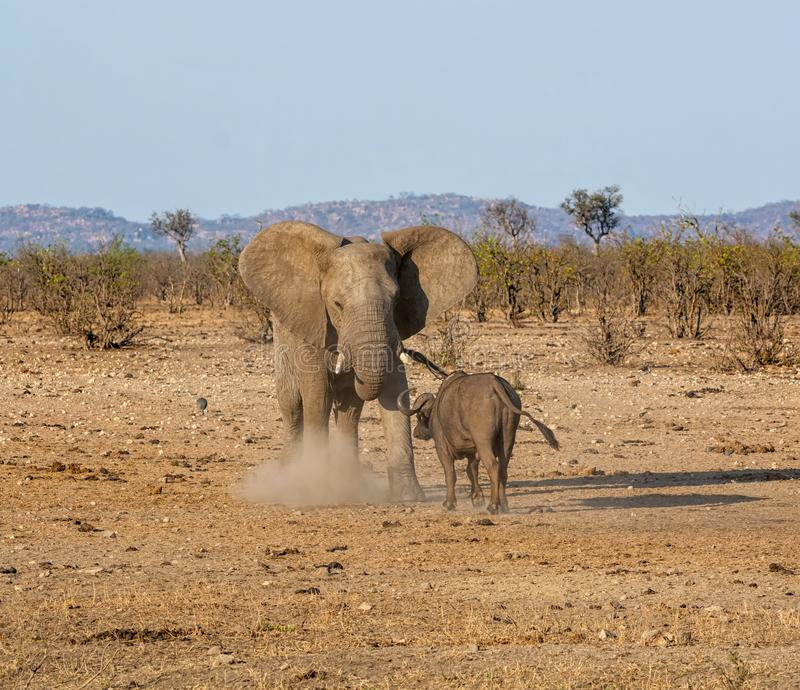 Elephant And Buffalo. Bulls confronting each other in Southern African savanna royalty free stock image