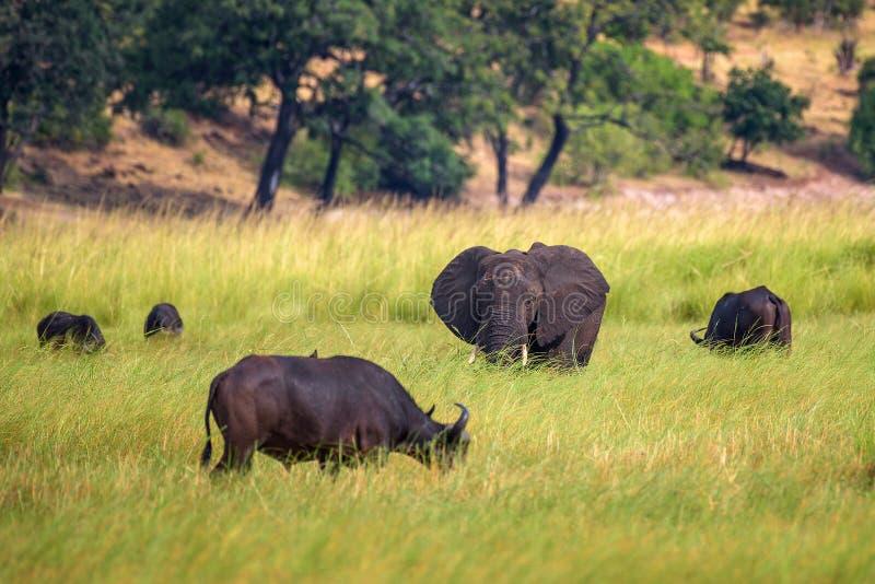 Elephant and buffalos grazing in Chobe National Park, Botswana stock image