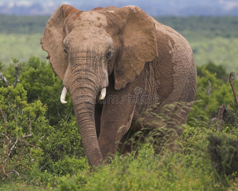 Download Elephant bull stock photo. Image of conservation, bush - 1400544