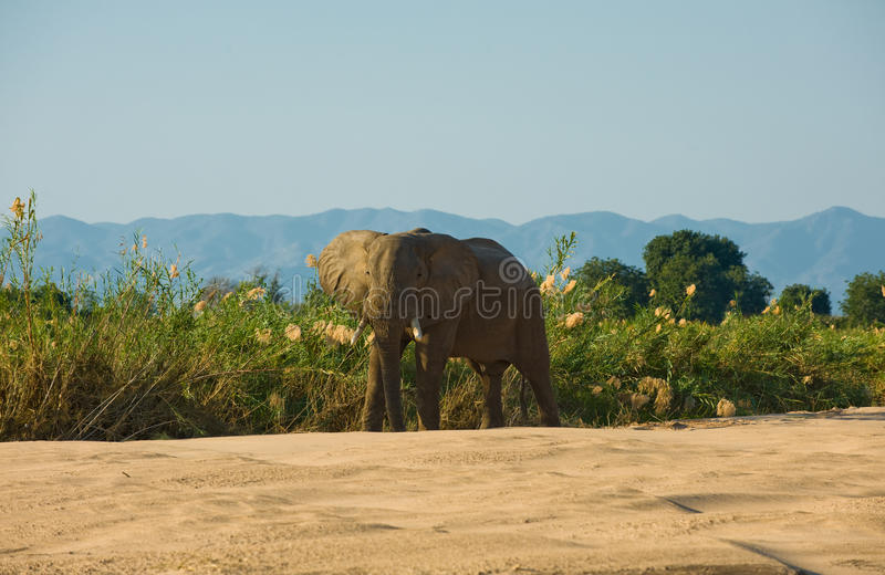 Elephant bull stock photos