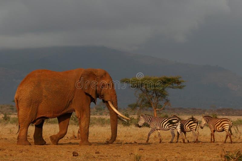 Elephant Bull. Giant elephant bull meeting a group of plains zebras in savanna