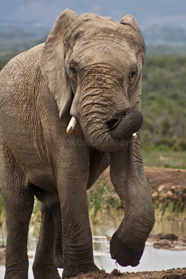 Elephant Bull in Must stock photo