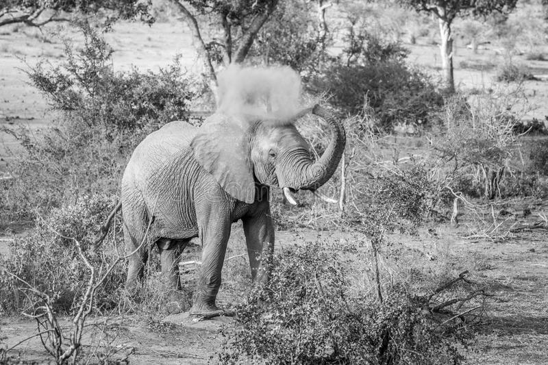 Elephant bull spraying dust on himself in the Kruger National Park. Elephant bull spraying dust on himself in black and white in the Kruger National Park, South royalty free stock photography