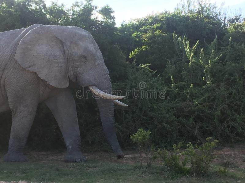 Elephant bull in Africa stock images