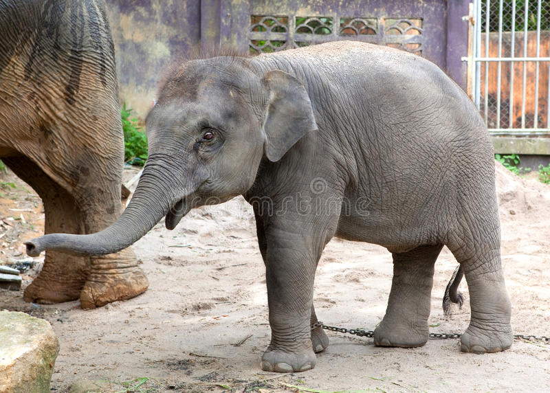 The elephant calf stock images