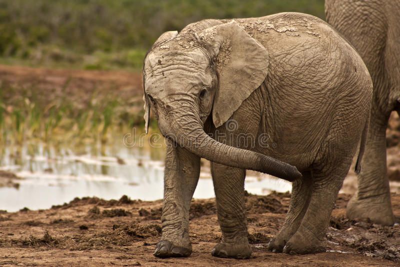 Elephant Calf royalty free stock image