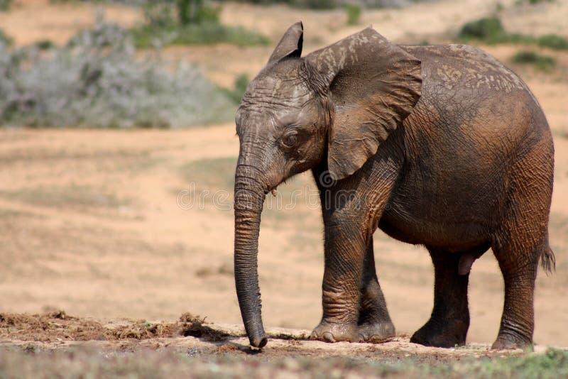 Elephant Calf stock images