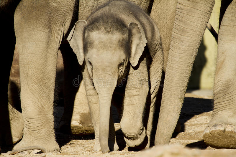 Download Elephant calf stock image. Image of pachyderm, view, small - 22215451