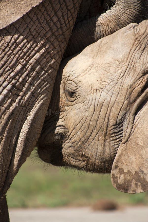 Elephant Calf Drinking stock image