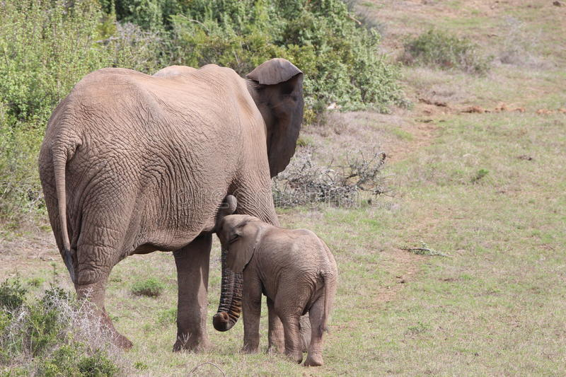 Elephant calf drinking on his mother. In addo elephant park royalty free stock photos