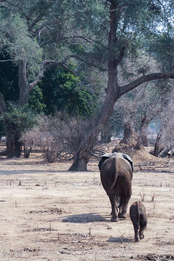 Elephant calf following mum stock photo