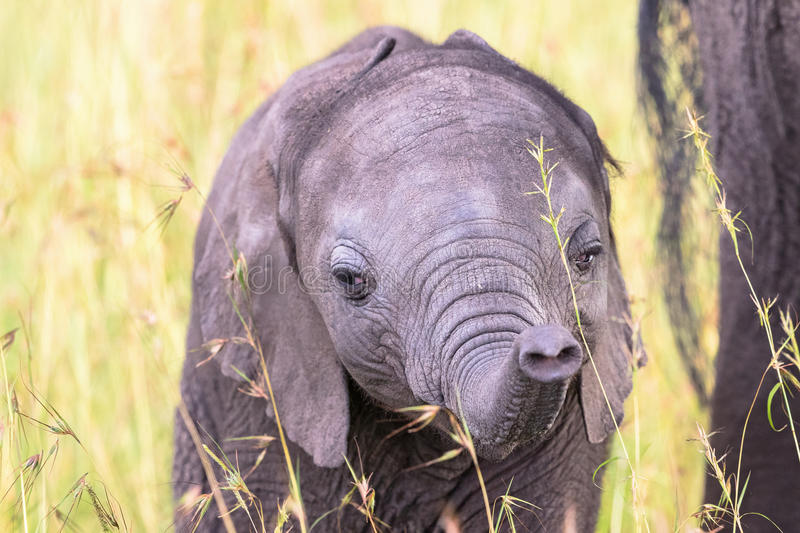 Elephant calf at grass stock images