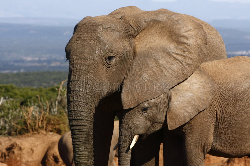 Download Elephant calf hiding stock image. Image of shelter, thirsty - 3029867