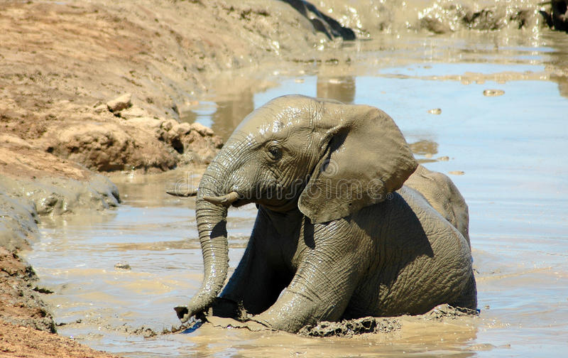 Elephant calf sun bathing. A cute wet African elephant baby sun-bathing and playing in a muddy waterhole in South Africa during summertime stock photos