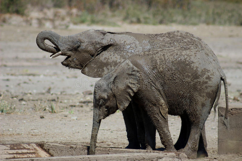 Elephant calves covered in mud. Drinking water at water pit in krugernational park stock image