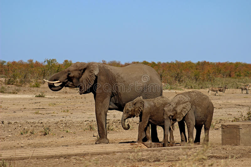 Elephant and calves drinking water. At water pit in krugernational park stock images
