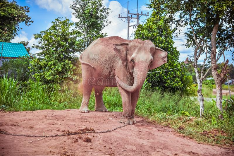 Elephant chained. Care for Elephant needing Rest and Recuperation in surin Thailand. Elephant chained. Care for an Elephant needing Rest and Recuperation in royalty free stock photo