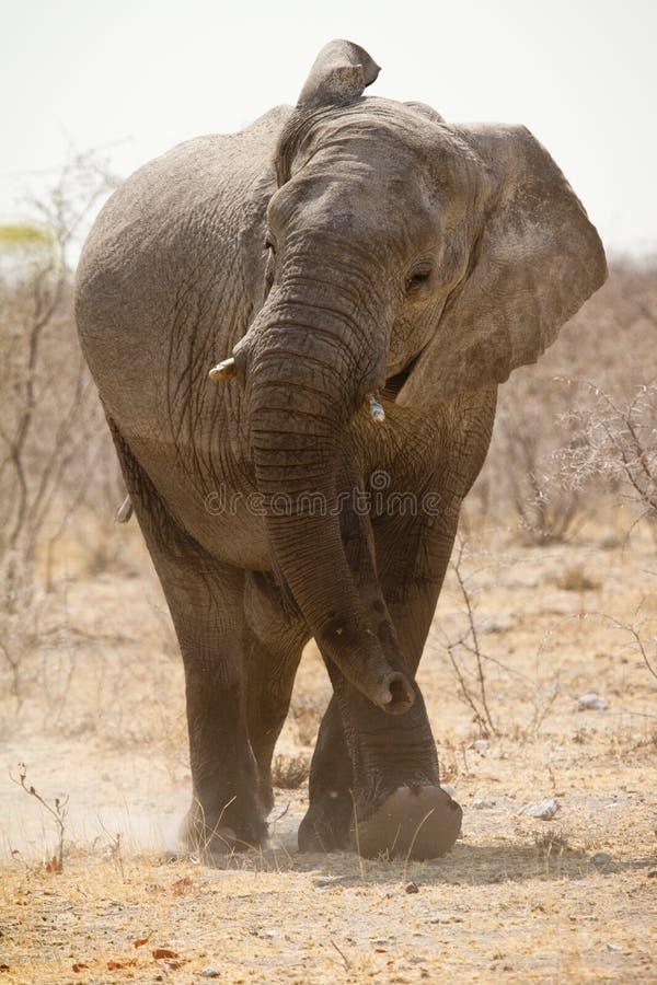 Elephant charging stock photo
