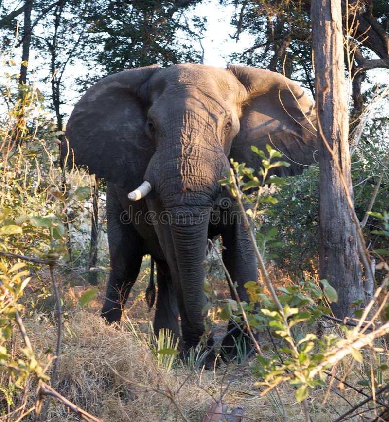 Elephant Charging In Jungle Stock Photos