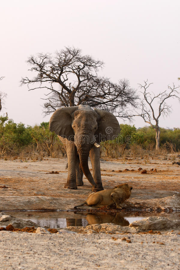 Elephant chasing lions at a waterhole stock photos