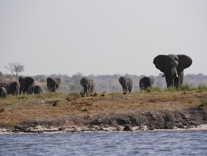Elephant in Chobe National Park royalty free stock image