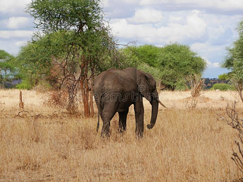 Elephant close-u on Tarangiri safari - Ngorongoro. Elephant close-up on Tarangiri safari - Ngorongoro in Africa, beautiful view of Africa, beautiful animal, big royalty free stock photography