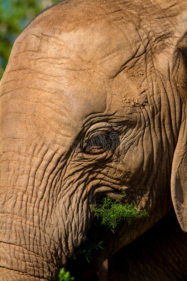 Elephant close up. Close up of a young Elephant feeding stock photography