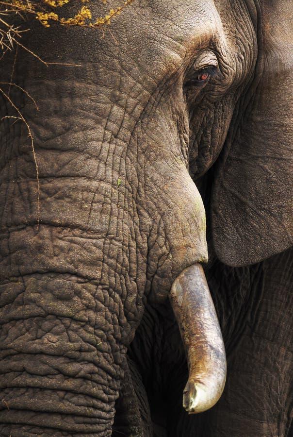 Closeup Portrait Of A: Elephant Close-up Portrait Stock Image. Image Of Africana