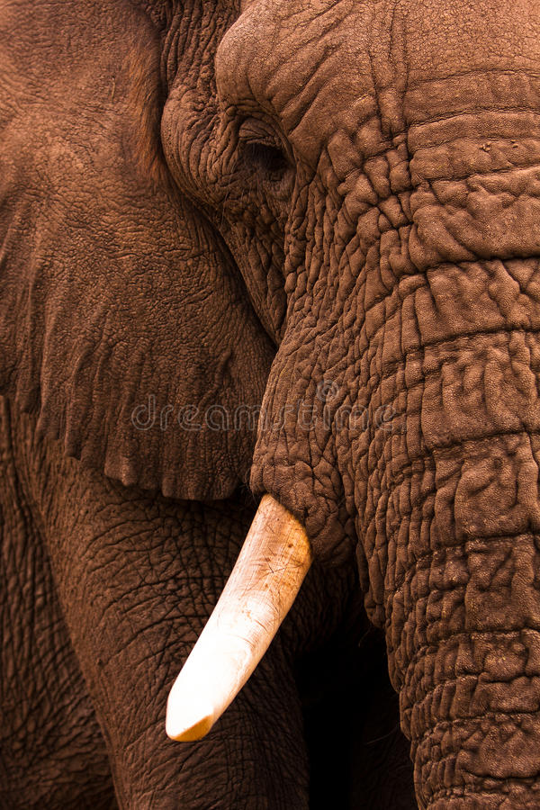 Elephant Close Up royalty free stock images