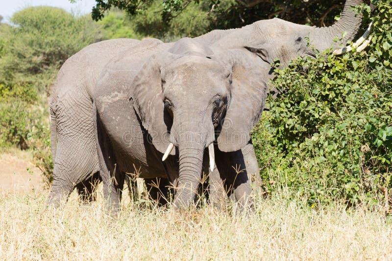 Elephant close up, Tarangire National Park, Tanzania stock image