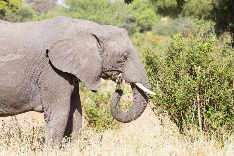 Elephant close up, Tarangire National Park, Tanzania royalty free stock photos