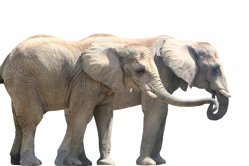 Elephant Couple stock photo