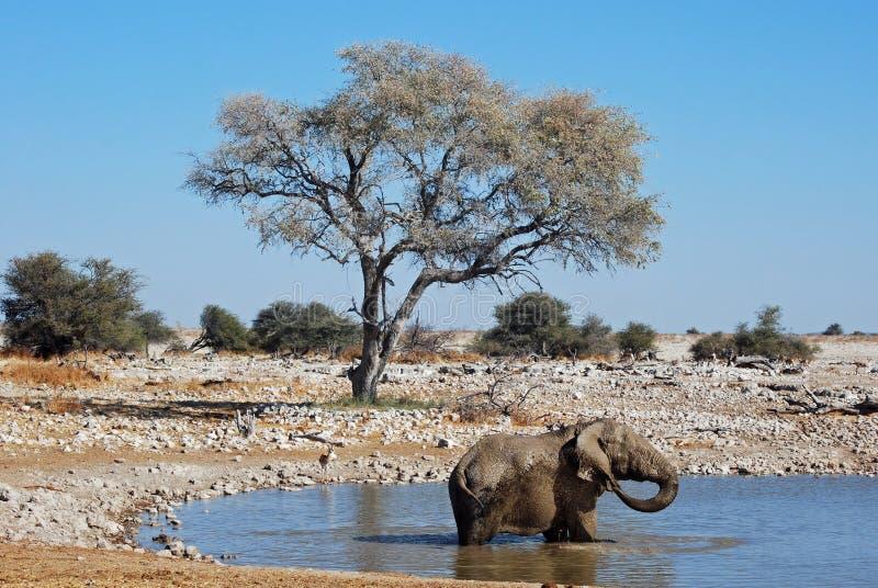 Elephant covered in mud- Etosha National Park. African savanna Elephant (Loxodonta africana africana) covered in mud in a pond - Etosha National Park - Namibia royalty free stock photo