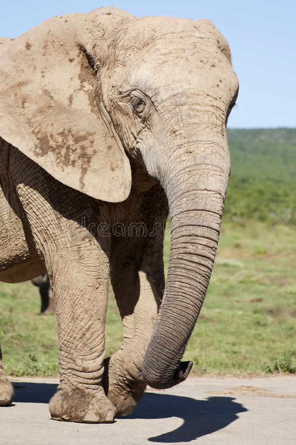 Elephant Cow stock images